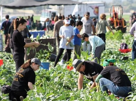 Volunteers glean produce for the poor.  Photo courtesy of Leket Israel