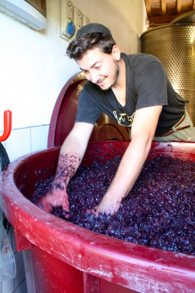 Eli Gauthier working the grapes.Photo provided