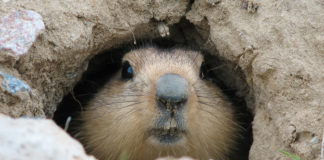 Groundhog muzzle looking out of mink